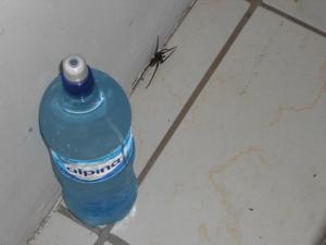 costa-rica-brazilian-wandering-spider